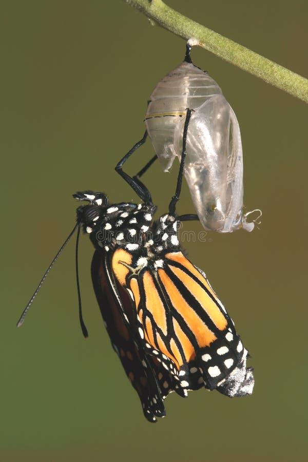 fjärilschrysalis som dyker upp dess monark royaltyfria bilder