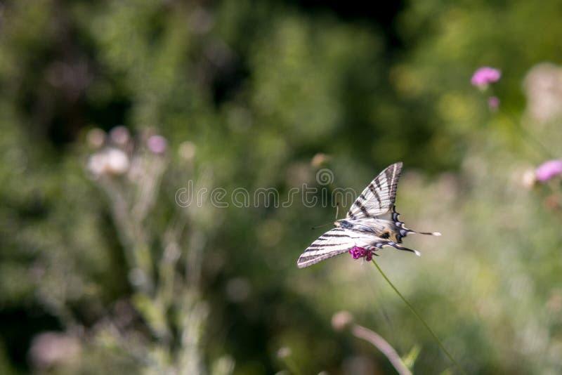 Fjärilsflyg från blomman till blomman i en sommarträdgård fotografering för bildbyråer