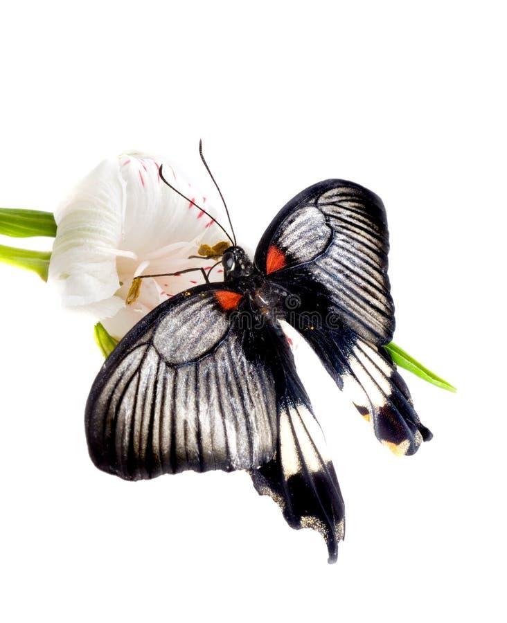 fjärilsfreesia royaltyfria bilder