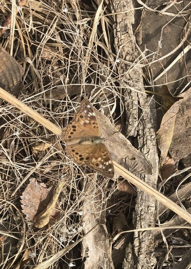 fjärilsfritillarystoren spangled arkivfoto