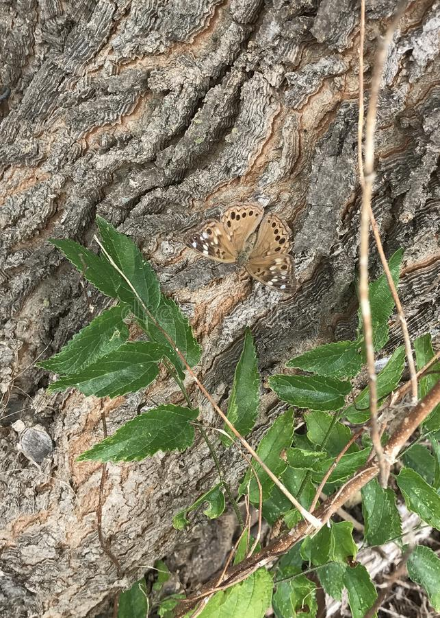 fjärilsfritillarystoren spangled royaltyfria bilder