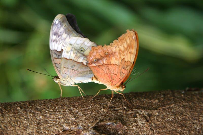 fjärilsihopparning royaltyfri fotografi
