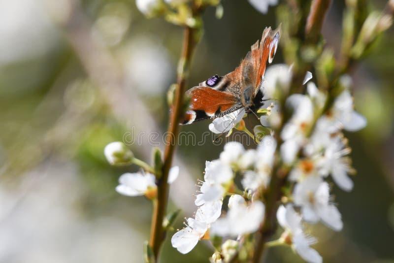 Fjärilsinachys io på blomman royaltyfri fotografi