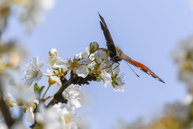 Fjärilsinachys io på blomman arkivfoton
