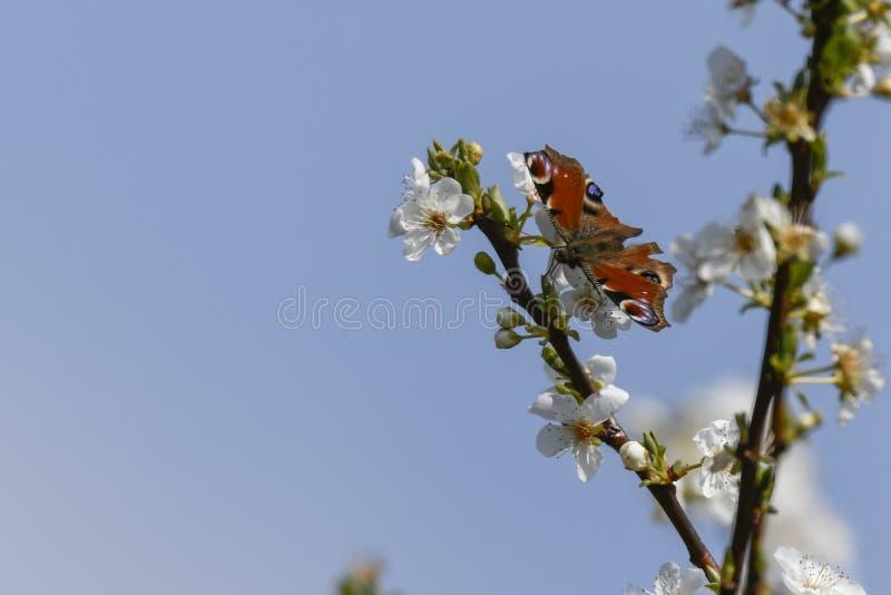 Fjärilsinachys io på blomman arkivfoto