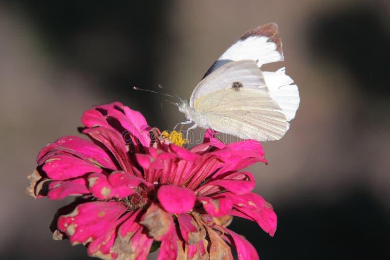 fjärilskål arkivfoto