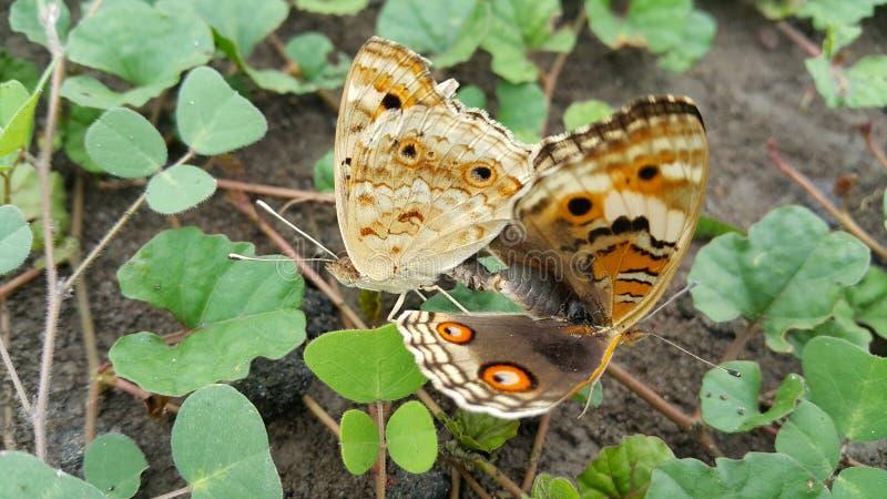 Fjärilskompispar royaltyfri fotografi