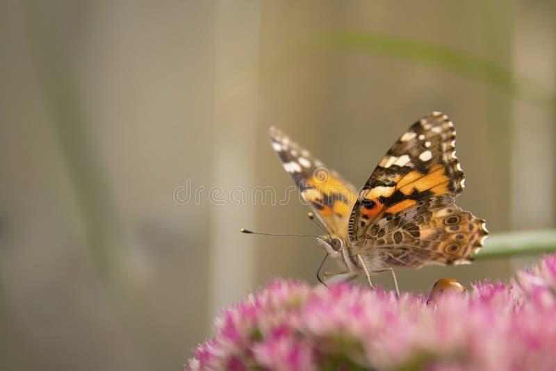 fjärilsladyen målade fotografering för bildbyråer