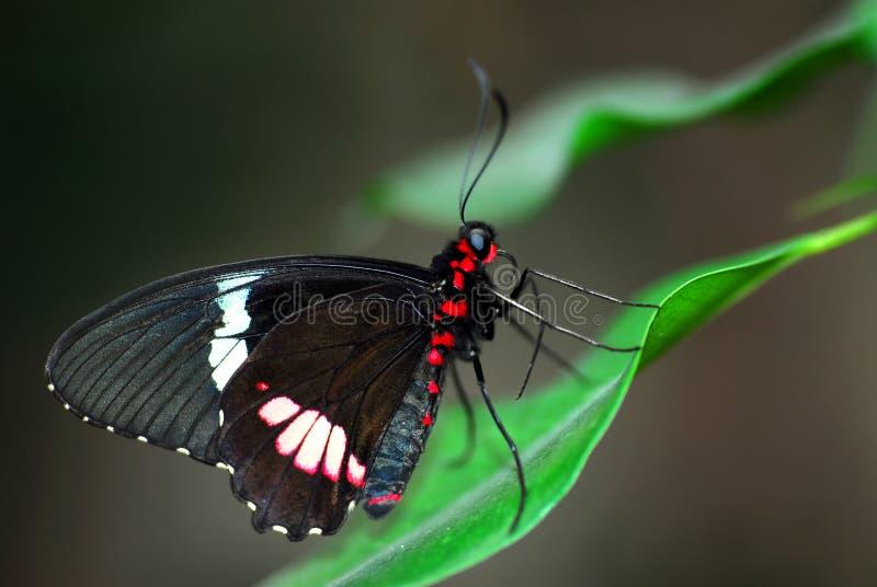 fjärilsleafparides royaltyfri fotografi