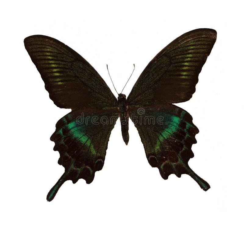 fjärilsmaacksswallowtail royaltyfria bilder