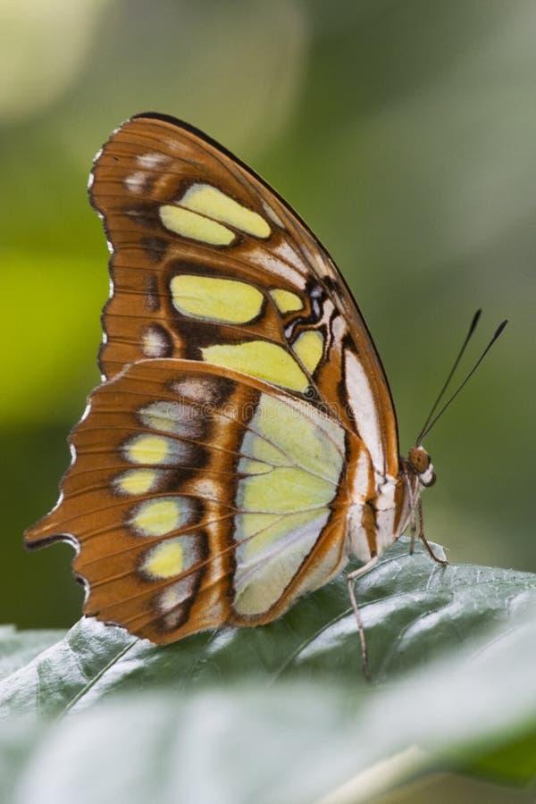fjärilsmalachite royaltyfri bild