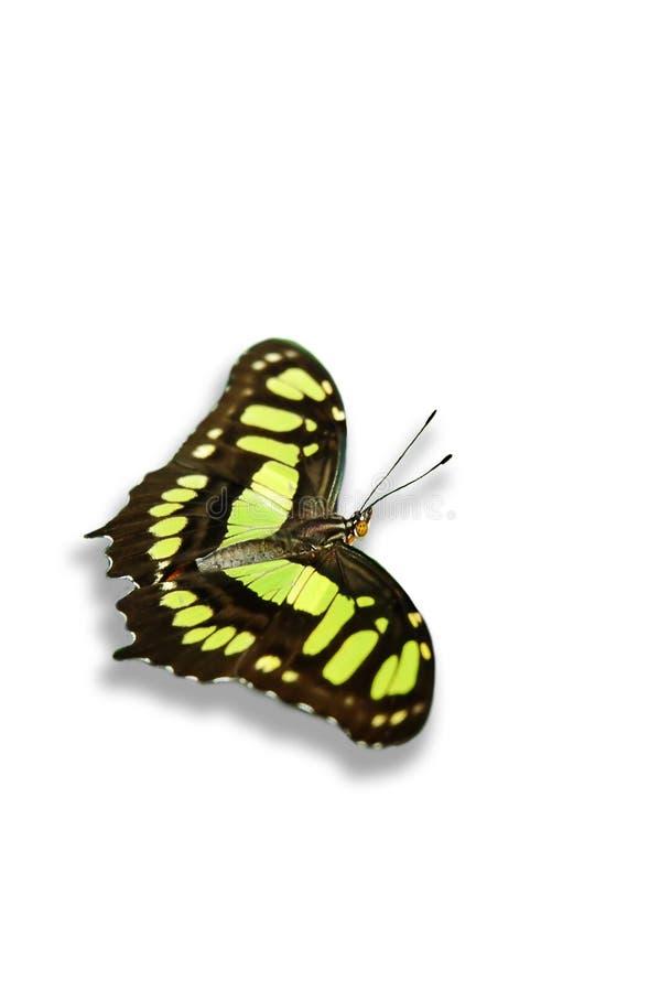 Download Fjärilsmalachite arkivfoto. Bild av vingar, fjäril, avstånd - 513526