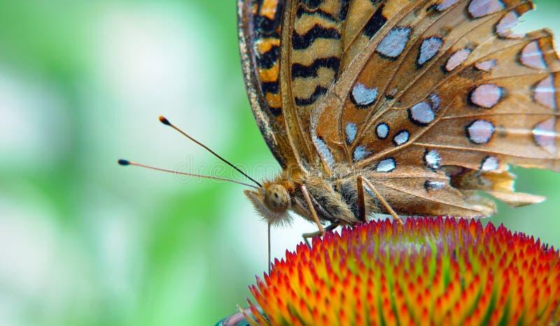 fjärilsmatning fotografering för bildbyråer