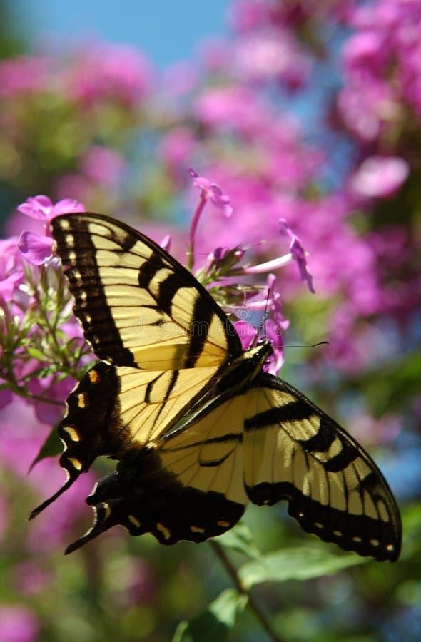Download Fjärilsmonark arkivfoto. Bild av kryp, natur, trädgård - 517894