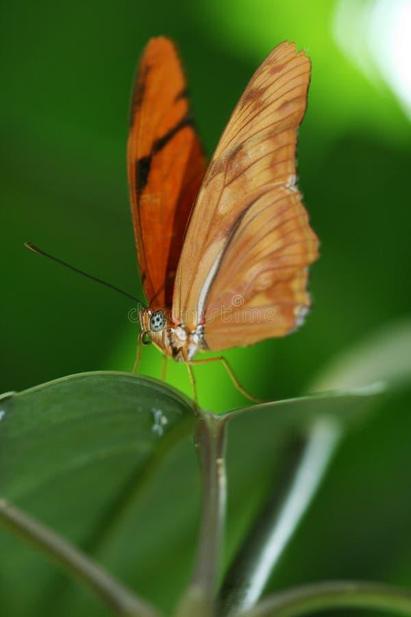 fjärilsorange arkivbilder