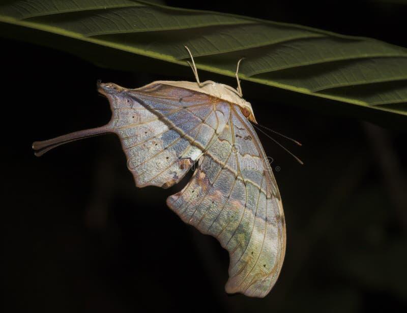 fjärilsperu upsidedown arkivbild