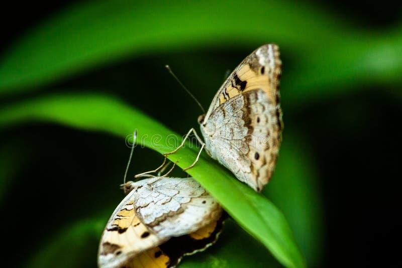 Fjärilsreflexionen gillar arkivfoto