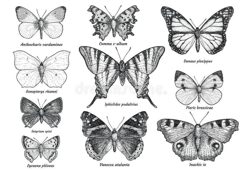 Fjärilssamling, illustration, teckning, gravyr, färgpulver, linje konst, vektor stock illustrationer