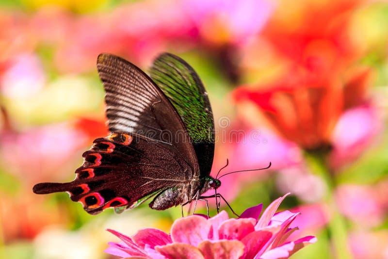 Fjärilsställning på färgrik rosa höstlig krysantemum i trädgården fotografering för bildbyråer