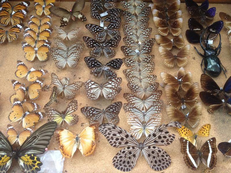 Fjärilsstauffer arkivbild