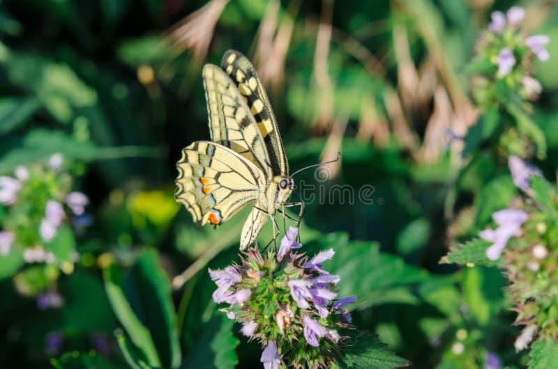 Fjärilsswallowtail sitter med öppna vingar på blomman arkivbilder