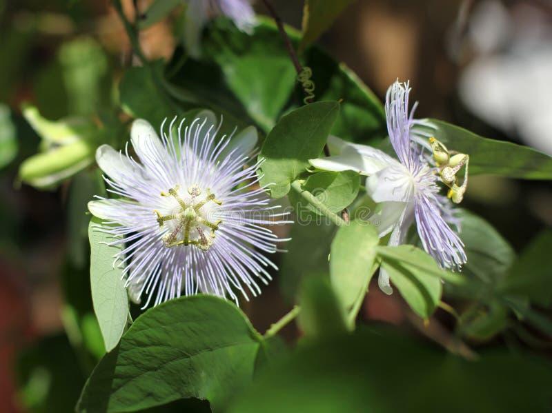 FjärilsvärldsPassiflora arkivfoto