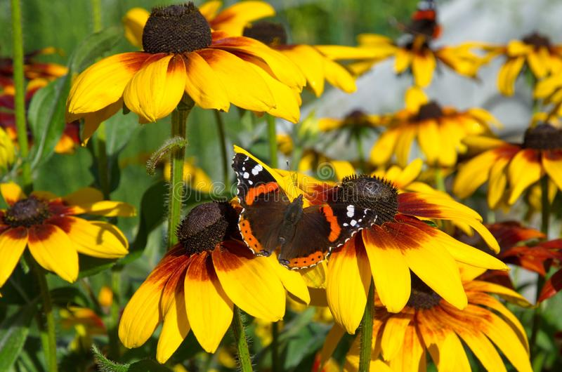 FjärilsVanessa atalanta på blommorna av rudbeckia royaltyfri bild