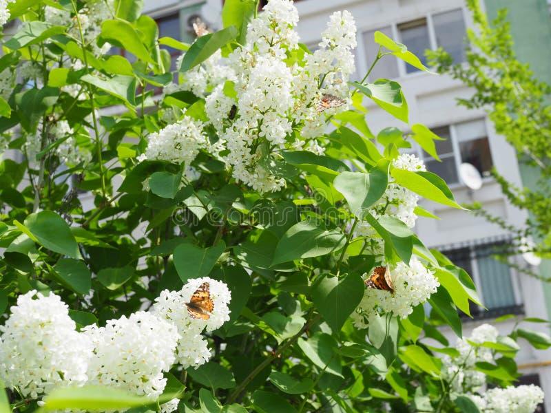 FjärilsVanessa cardui på vita lila blommor Pollination som blommar lilor Vanessa cardui royaltyfri fotografi