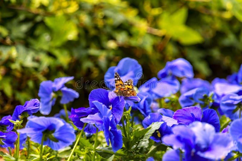 FjärilsVanessa cardui som sitter på ett blått penséblommaslut upp på en suddig bakgrund arkivfoton