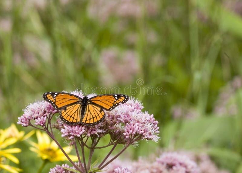 fjärilsviceroy royaltyfri fotografi