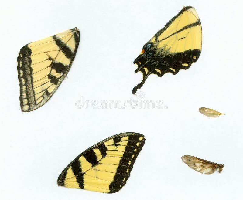 fjärilsvingar royaltyfria foton