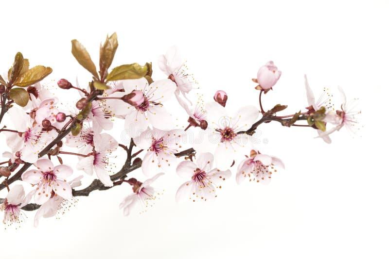 fj?der f?r blomma f?r dof f?r azaleablomningclose grund upp arkivfoton