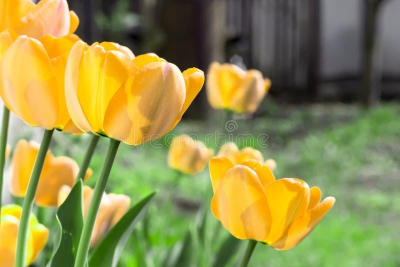 Fj?dra bakgrund med h?rliga gula tulpan i tr?dg?rd fotografering för bildbyråer