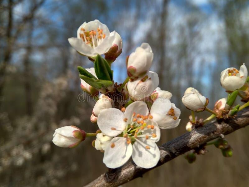 Fj?dra blomma upp vita blommor p? filialen, slut arkivfoton