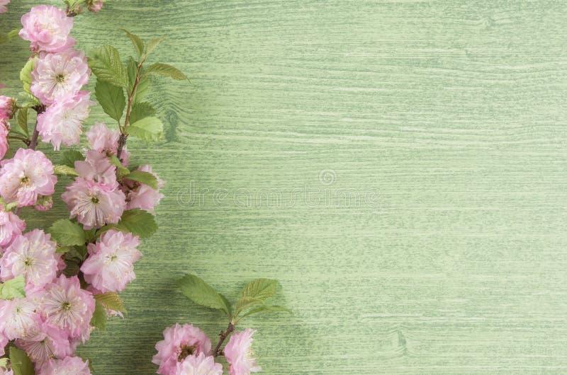 Fj?dra eller sommarnaturbakgrund Den rosa den mandelblomman, knoppen, bladet och kronbladet p? gr?n tr?tabellbakgrund, l?genhet l royaltyfri bild