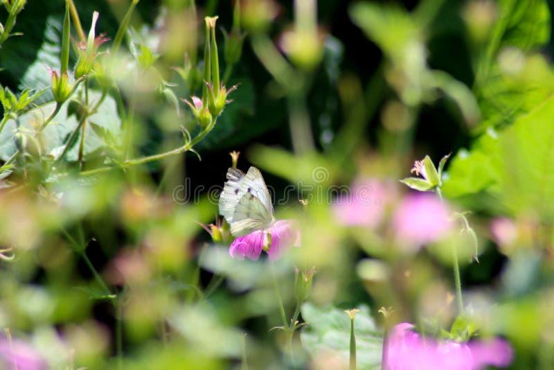 Fj?ril och rosa blommor arkivfoton