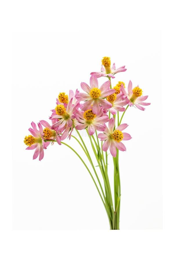 Fj?rilar ovanf?r vit bakgrund f?r blommor arkivfoton