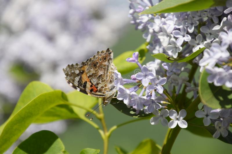 Fj?rilsVanessa cardui p? lila blommor Pollination som blommar lilor arkivbilder
