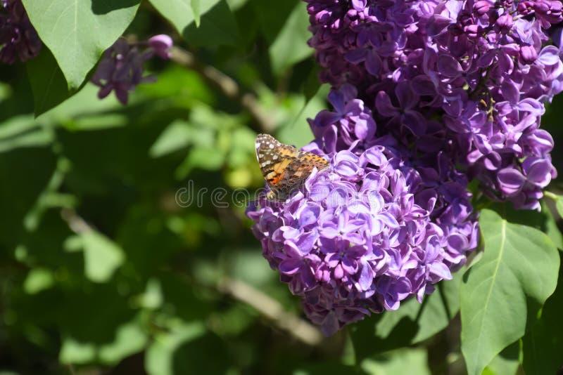 Fj?rilsVanessa cardui p? lila blommor Pollination som blommar lilor arkivbild