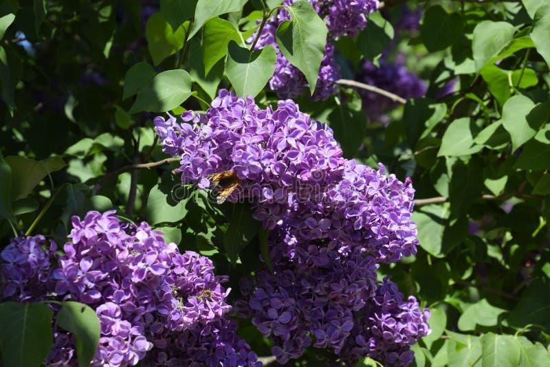 Fj?rilsVanessa cardui p? lila blommor Pollination som blommar lilor royaltyfri bild