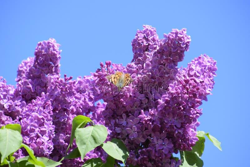 Fj?rilsVanessa cardui p? lila blommor Pollination som blommar lilor fotografering för bildbyråer