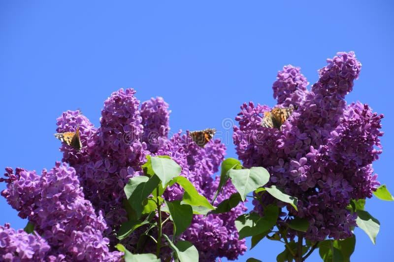 Fj?rilsVanessa cardui p? lila blommor Pollination som blommar lilor arkivfoton