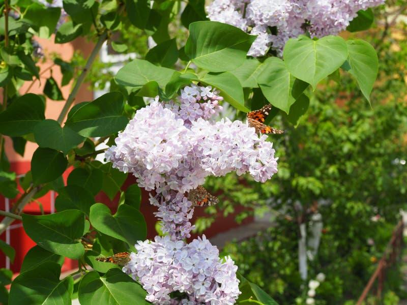 Fj?rilsVanessa cardui p? lila blommor Pollination som blommar lilor Vanessa cardui arkivbilder