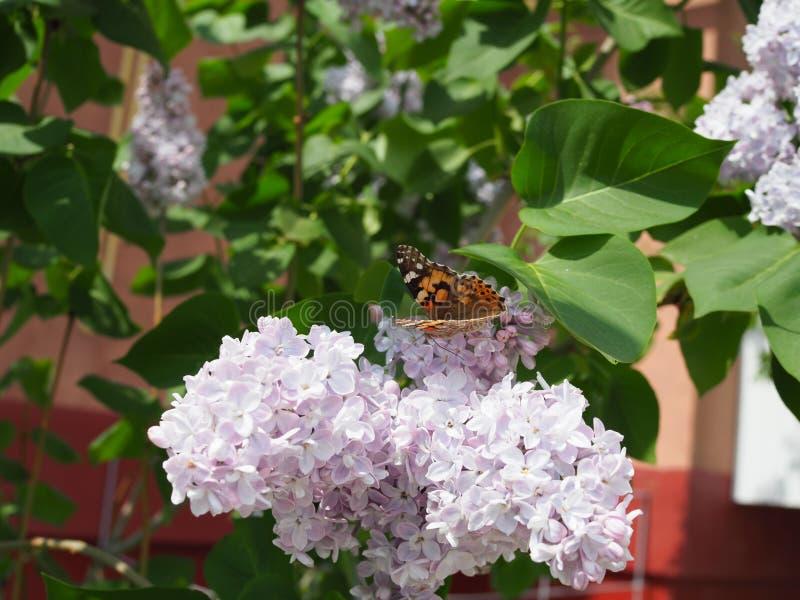 Fj?rilsVanessa cardui p? lila blommor Pollination som blommar lilor Vanessa cardui royaltyfria foton