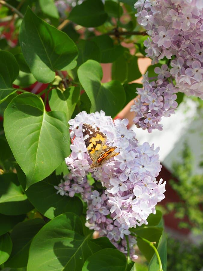 Fj?rilsVanessa cardui p? lila blommor Pollination som blommar lilor Vanessa cardui royaltyfri bild
