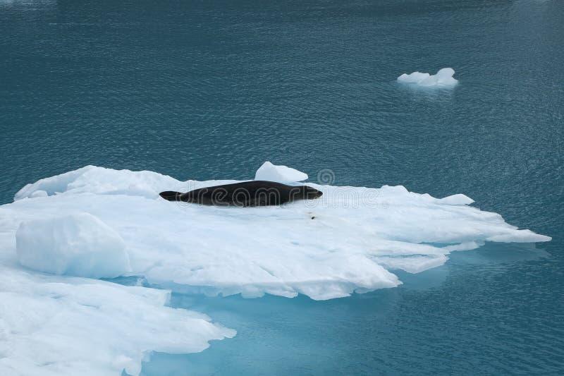 Fjord Georgia Islands du sud, joint de Drygalski de léopard se reposant sur la glace de flottement image libre de droits