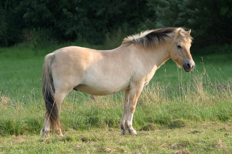 Fjord horse royalty free stock photo