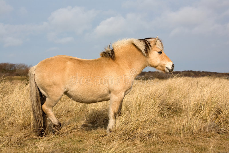 Fjord horse. Norwegian Fjord horse in nature reservoir-dune area stock image