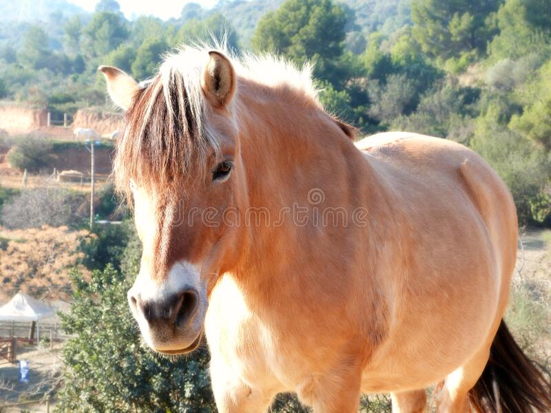 Fjord horse stock images
