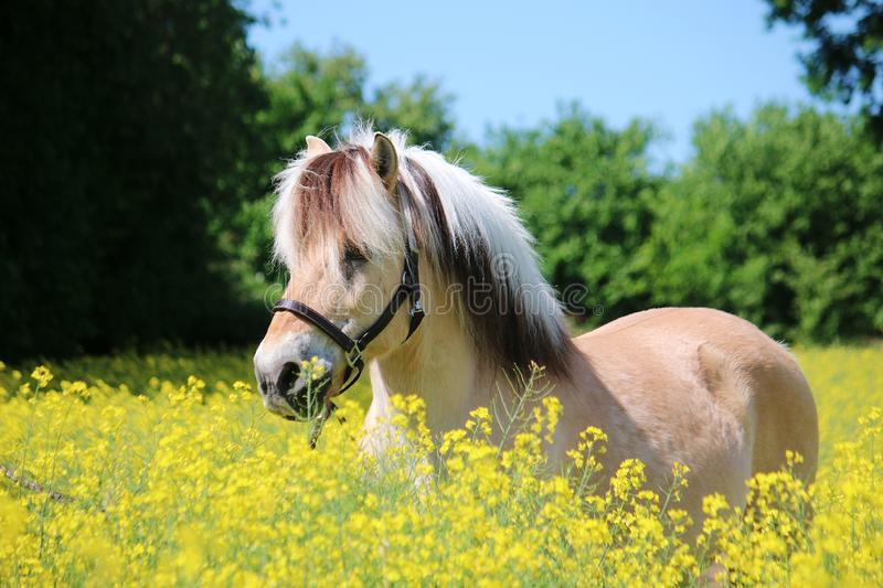 Fjord horse portrait in a seed field. Beautiful fjord horse head portrait in the seed field royalty free stock image